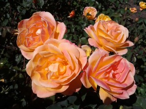 Jody Victor: International Rose Test Garden